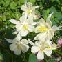 Aquilegia blooms