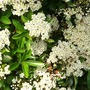 Pyracantha coming into blossom.
