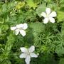 Geranium sanguineum 'Alba' (Geranium sanguineum 'Alba')