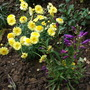 Argyranthemum_frutescens_cornish_gold_