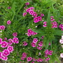Dianthus barbatus (Sweet William) first one out at last (Dianthus barbatus (Sweet William))