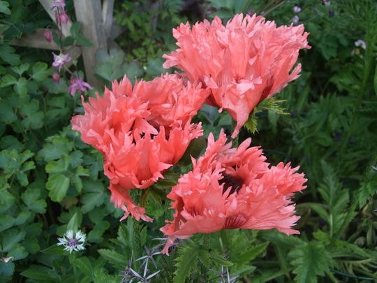'Ruffled Patty' (Papaver orientale (Oriental poppy))