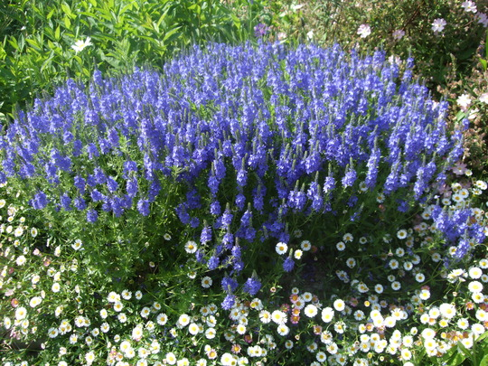 Blue in the top border (Veronica 'Crater Lake Blue')