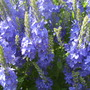 Veronica close-up (Veronica 'Crater Lake Blue')