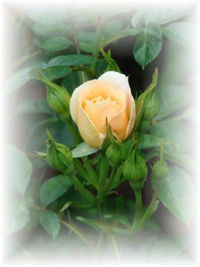 Miniature Rose 'Sweet Dreams'