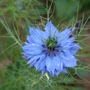 Nigella  Love-in-a-Mist (Nigella damascena (Love-in-a-mist))