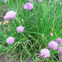 Chives in the herb garden (Allium)
