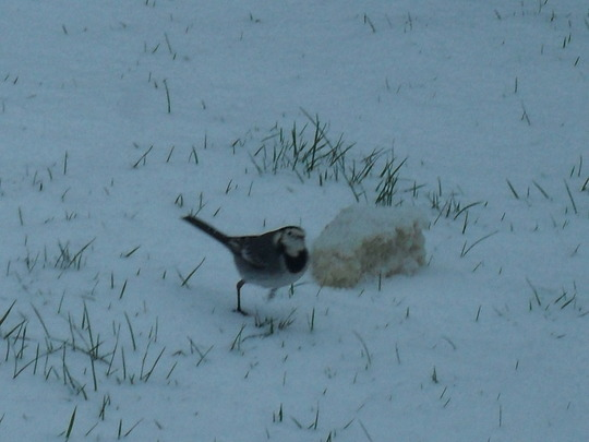 WAGTAIL IN THE SNOW THIS WINTER
