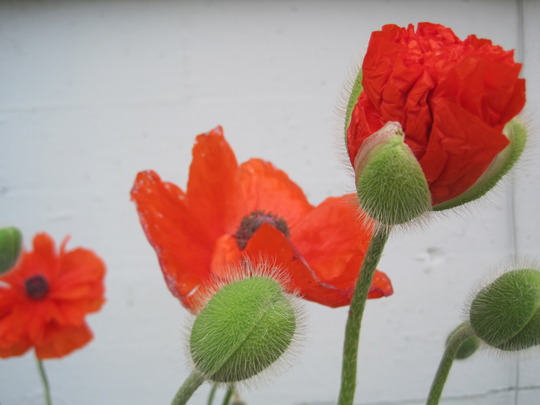 poppies (Papaver orientale (Oriental poppy))