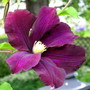 Clematis &quot;Warsaw Nike&quot;
