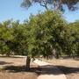 Ceratonia siliqua - Carob Tree (Ceratonia siliqua - Carob Tree)