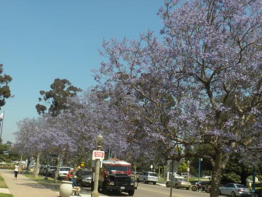 Jacaranda mimosifolia - Jacaranda Trees lining Laurel Street (Jacaranda mimosifolia - Jacaranda)