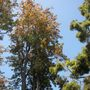 Grevillea robusta - Silky Oak, Silk Oak (Grevillea robusta - Silky Oak, Silk)