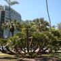 Chamaerops humilis - Mediterranean Fan Palm (Chamaerops humilis - Mediterranean Fan Palm)