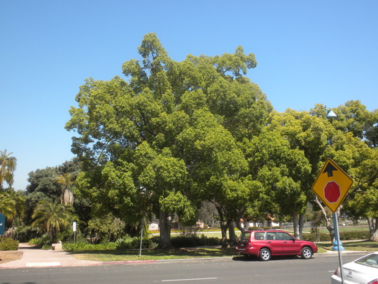 Cinnamomum camphora - Camphor Tree  (Cinnamomum camphora - Camphor Tree)