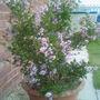 Lilac  (Syringa meyeri (Lilac))