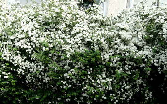 Spirea hedge (Spirea Japonica, Spirea Arguta and Spirea Nipponica hdge)