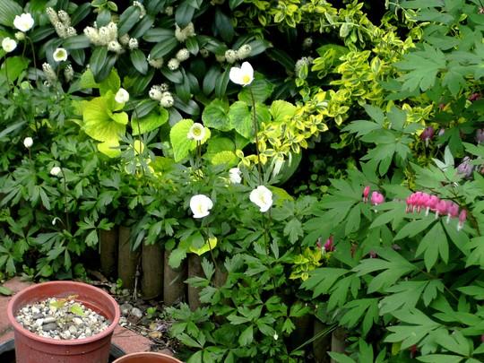 Anemones. (Anemone de Caen)