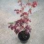Acer (Acer Atropurpureum)