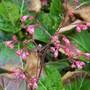 coral flower (Heuchera cylindrica (Coral flower))