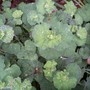 lady's mantle (Alchemilla erythropoda (Lady's mantle))
