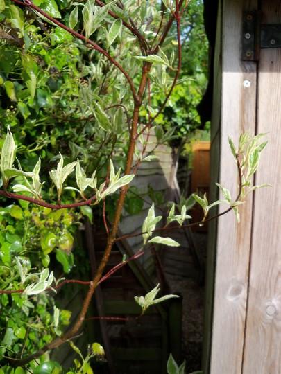 dogwood  (Cornus alba (Red-barked dogwood))