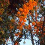 Fading_light_on_the_berberis_5_