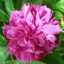 Bourbon rose - Hesketh Park, Southport - June 2010