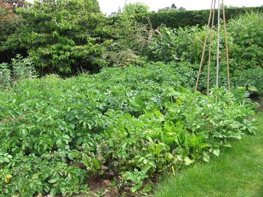 potatoes, beetroot, turnips and runner beans