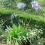 white and blue Lilies of the Nile - agapanthus in July 2008 (agapanthus)