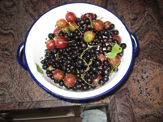 blackcurrants and gooseberries from the garden