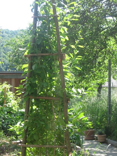 Goji berry...Wolfberry obelisk outside garden shed (Lycium barbarum (Chinese Wolfberry))