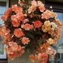 Basket begonia named Champagne.