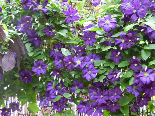 clematis viticella etoile violette grows on you. Black Bedroom Furniture Sets. Home Design Ideas