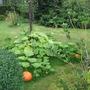 pumpkin in front garden