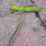 very big green caterpillar