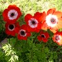 My red anemones are all facing the sun (Anemone de Caen)