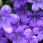 A garden flower photo (Campanula)