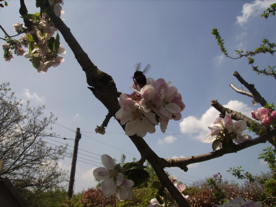 Bee on Bramley [?] Apple Blossom 07.05.08 (Malus domestica)