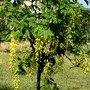 Our young Laburnum tree has its first blossom. (Laburnum anagyroides (Common Goldenchain))