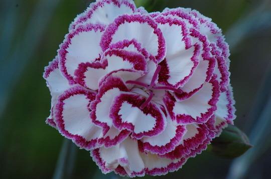 Dianthus 'Grans Favourite' (Dianthus)