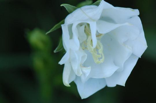 Campanula persicifolia 'Boule de Neige' (Campanula persicifolia (Peach-leaved bellflower))