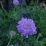 Scabiosa 'Vivid Violet' (Scabiosa atropurpurea (Pincushion flower))