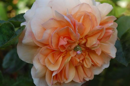 Rosa 'Port Sunlight'