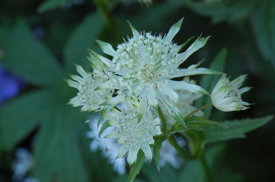 Astrantia 'Shaggy'