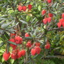 Chilean  lantern tree (Crinodendron hookerianum (Chilean Lantern Tree))