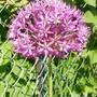 Allium  (Allium rosenbachianum)