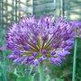 Allium azureum (Allium azureum)