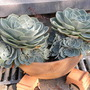 Echeveria_in_hangbak_260909