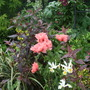 Papaver orientale (Oriental poppy)
